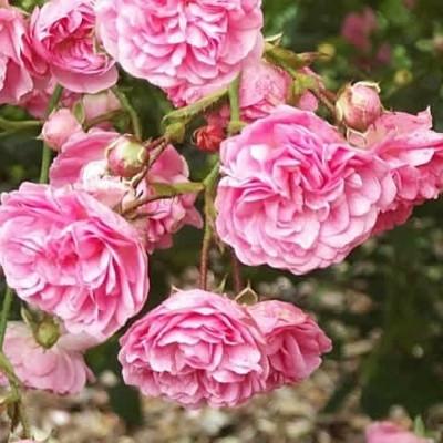 Rose Minnehaha (historisk slyngrose), barrodet