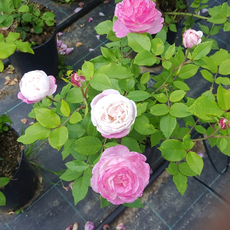 Rose Mme. Pierre Oger (bourbon)  , barrotad