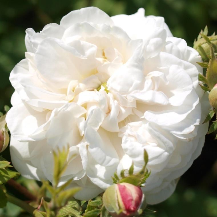 Rose Mme. Plantier (alba)  , barrotad