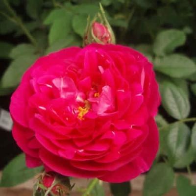 Rose Officinalis (gallica)  , barrotad