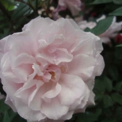 Rose Old Blush (buskrose)  , barrotad