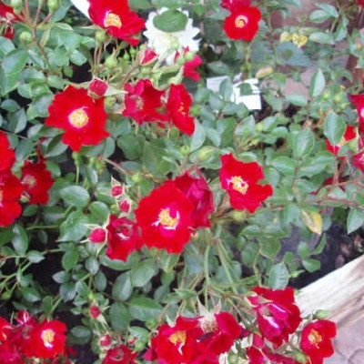 Rose 'Bassino' (bunddækkerose)  barrotad