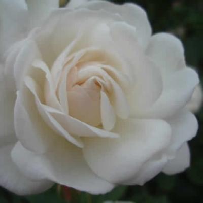 Rose Prosperity (moschata)  , barrotad