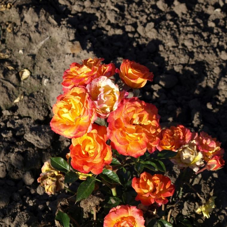 Rose Bonbon Hit (bunddækkerose), barrodet