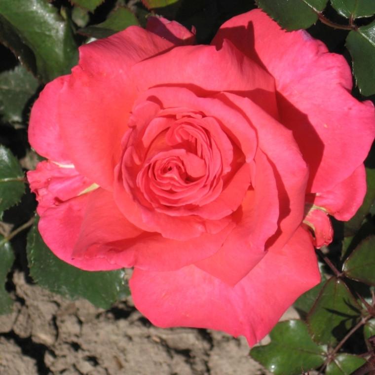 Rose Decorat Freude (storblomstrende)  , barrodet