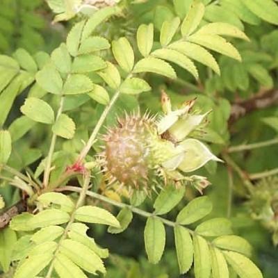 Rose Rosa roxburghii 'Plena' (buskrose)  , barrotad
