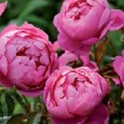 Rose Royal Jubilee (engelsk rose), barrotad