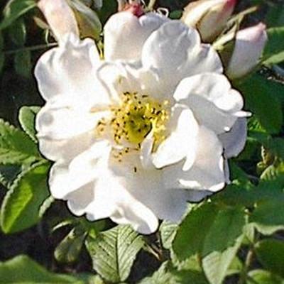 Rose Rosa rugosa Alba (rugosa), barrotad