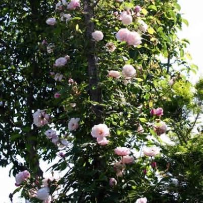 Rose Splendens (arvensis) (historisk slyngrose) , barrodet