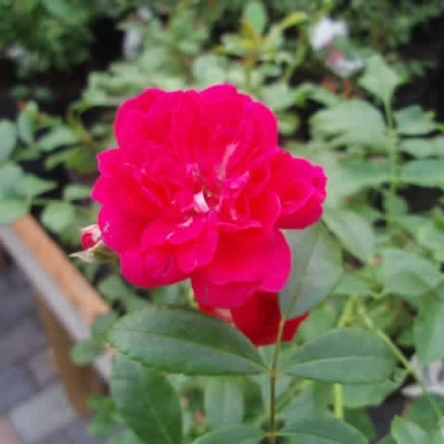 Rose Rød The Fairy  (bunddækkerose) , barrodet