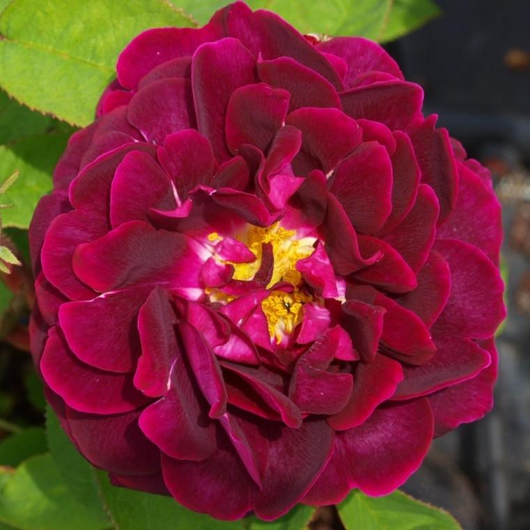 Rose Tuscany Superb (gallica) , barrotad