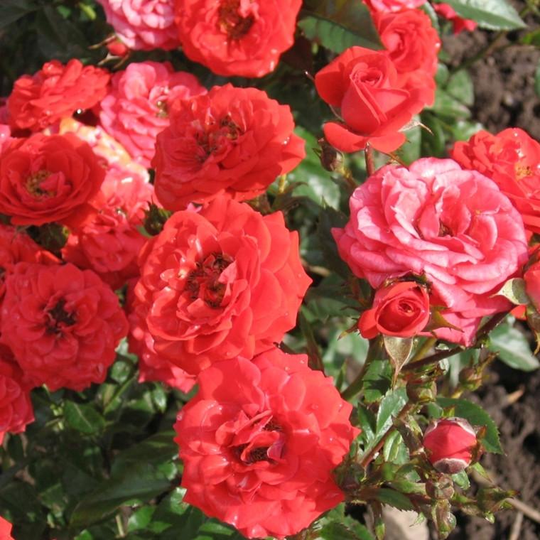 Rose Fancy Hit , barrotad