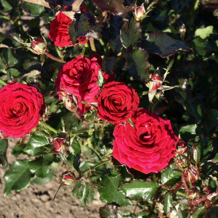 Rose Garnette Red (hit-miniaturerose), barrotad