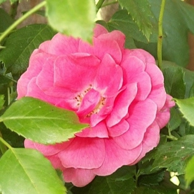 Rose Libelle (miniature rose), barrodet