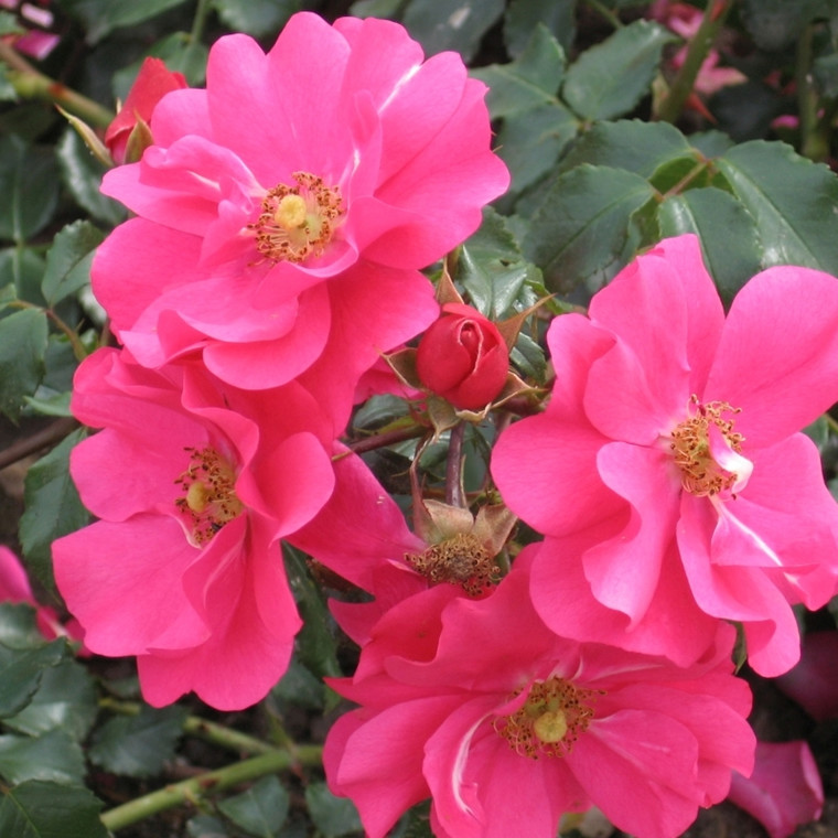 Rose Sommermärchen (bunddækkerose) , barrodet
