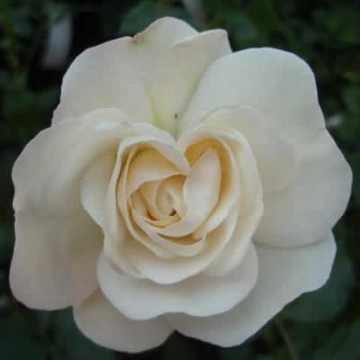 Rose Blois (buketrose) , barrodet