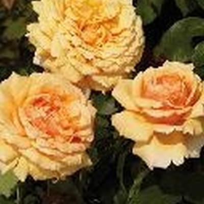 Rose 'Carl Nielsen' (storblomstrende) barrodet