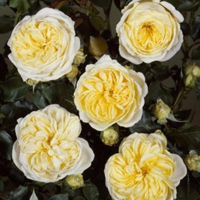 Rose Kronprinsesse Mary  (buketrose) , barrotad