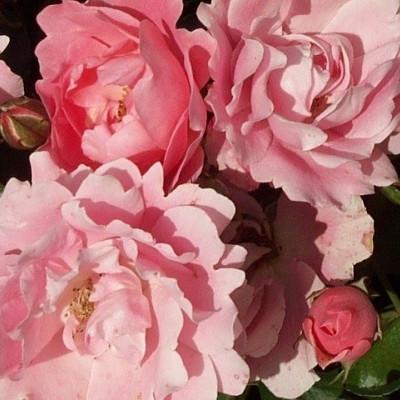 Rose Sommerwind (bunddækkerose) , barrodet