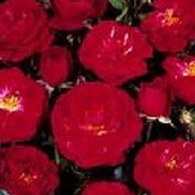 Rose 'Dacapo' (slyngrose)  barrodet
