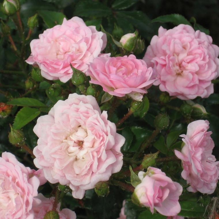 Rose The Fairy (bunddækkerose) , barrodet