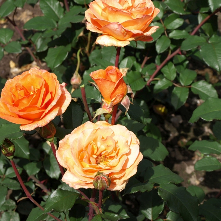 Rose Doris Tüsterman (storblomstrende)  , barrodet