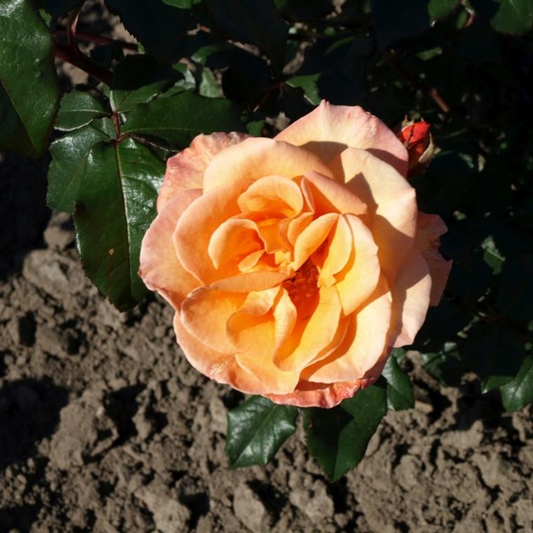 Rose Doris Tüsterman (storblomstrende)  , barrotad