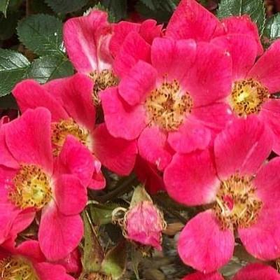 Rose Tommelise (bunddækkerose)  , barrodet