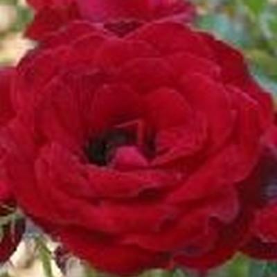 Rose Tatoo (slyngrose) , barrodet