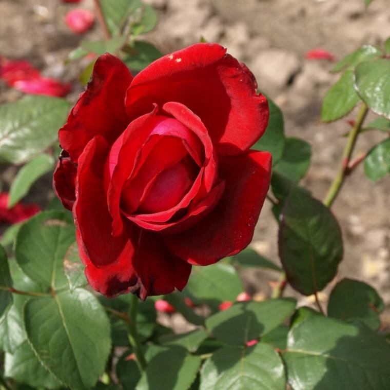 Rose 'Burgund '81' (storblomstrende)  barrodet