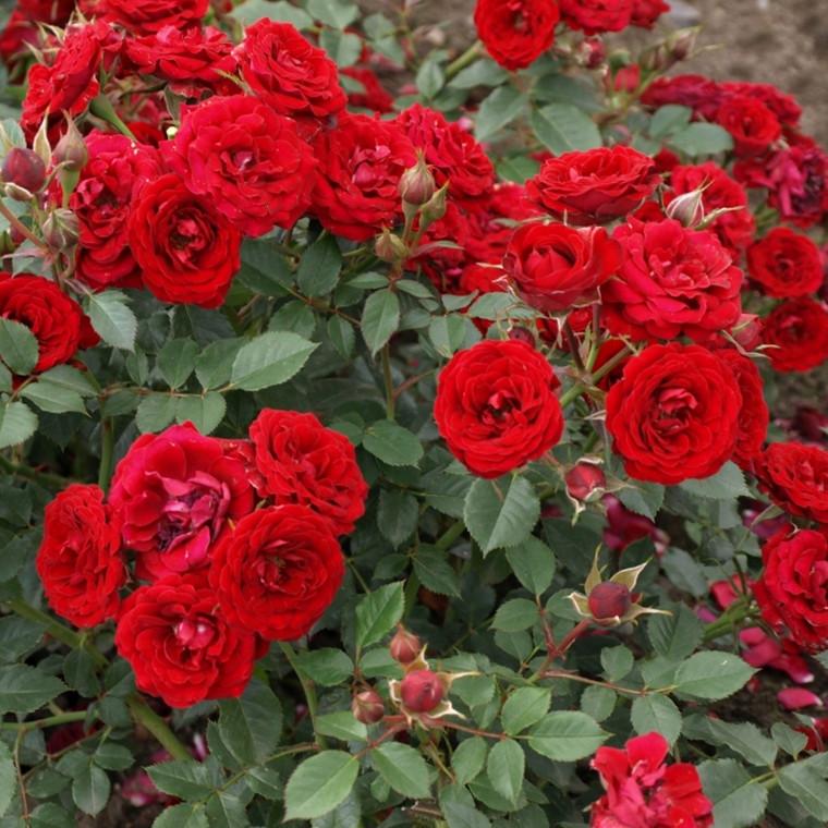 Rose Velvet Cover (bunddækkerose) , barrodet