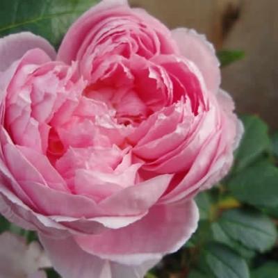 Rose 'Alan Titchmarsh' (engelsk rose) barrotad