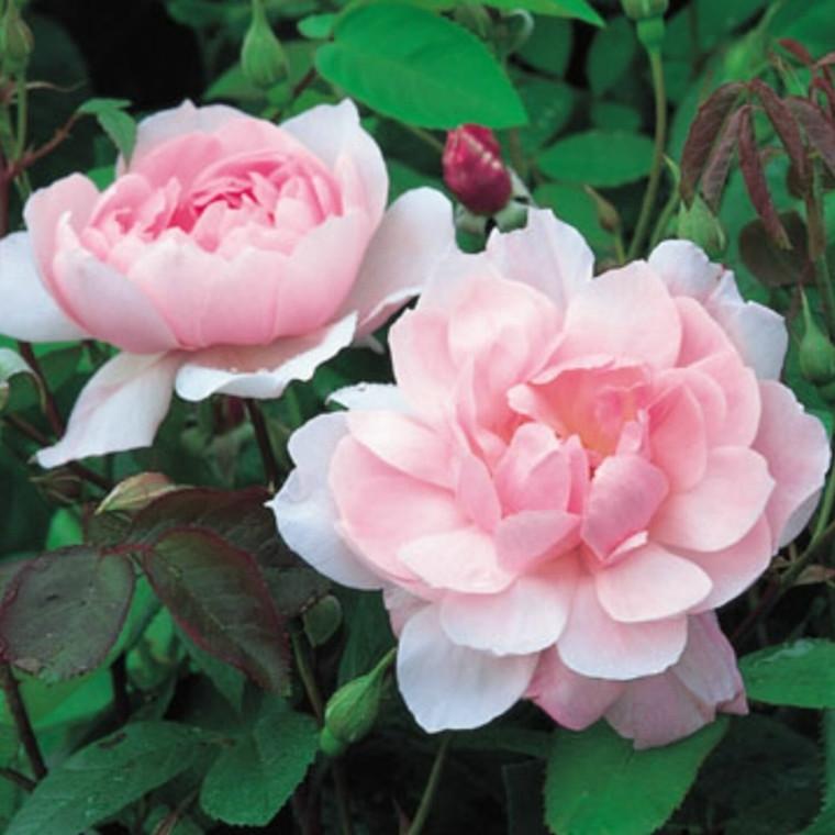 Rose Mortimer Sackler (engelsk rose (kan anvendes som slyngrose), barrotad