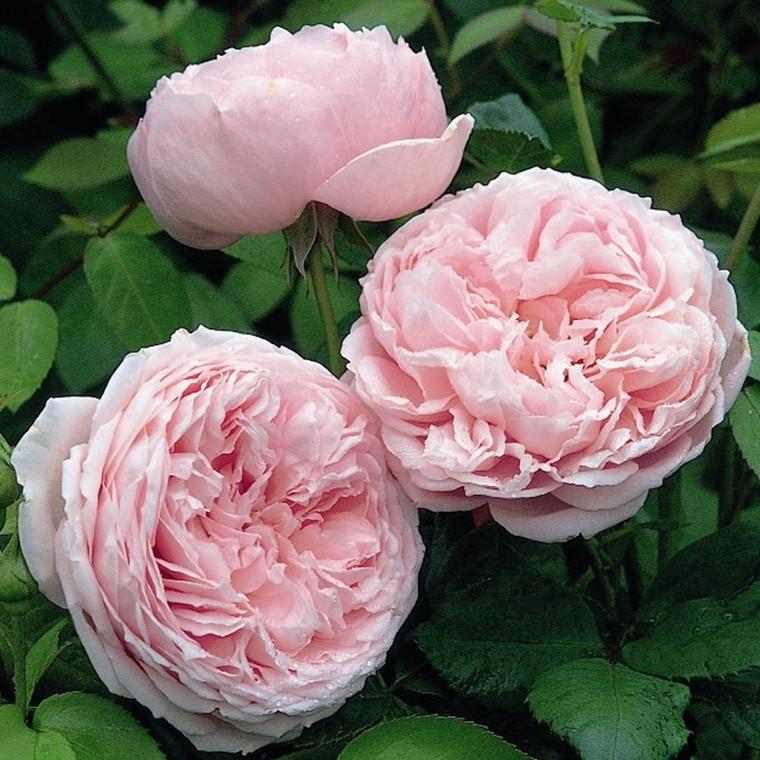 Rose Spirit of Freedom (engelsk rose (kan anvendes som slyngrose), barrodet