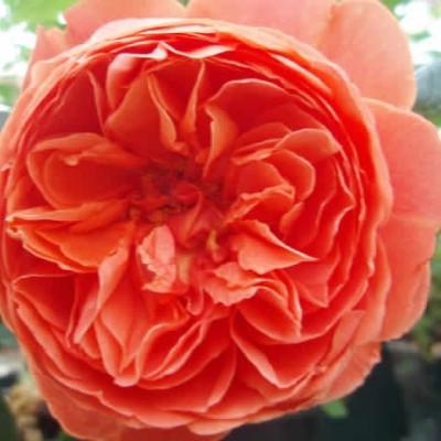 Rose Tess of D'Urbervilles (engelsk rose (kan anvendes som slyngrose), barrodet