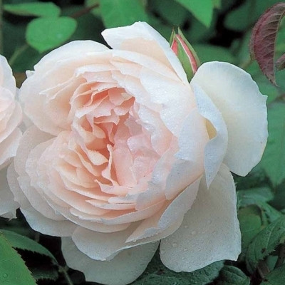 Rose The Generous Gardener (engelsk rose (kan anvendes som slyngrose), barrodet