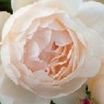Rose Wollerton Old Hall (engelsk rose (kan anvendes som slyngrose) , barrodet