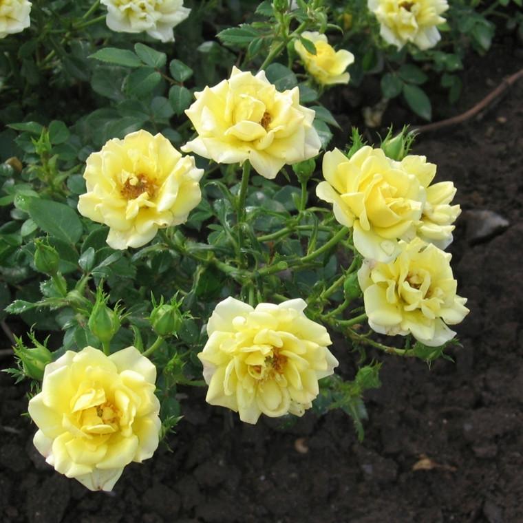 Rose Yellow Fairy (bunddækkerose) , barrodet