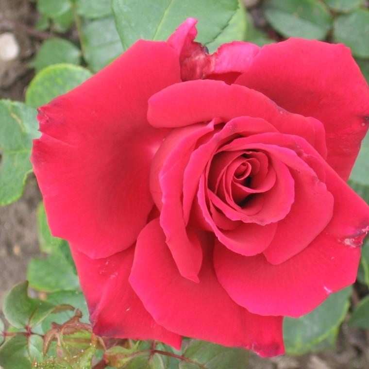 Rose Isabella Rossellini  (storblomstrende)  , barrodet