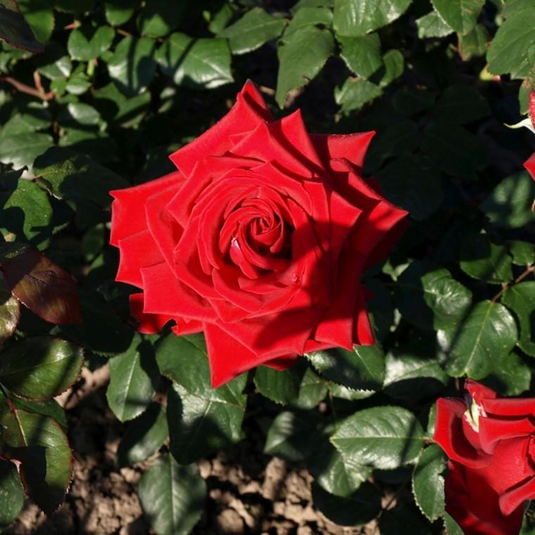 Rose 'Duftwolke' (storblomstrende) barrodet