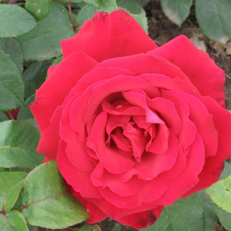 Rose 'Erotika' (storblomstrende) barrodet