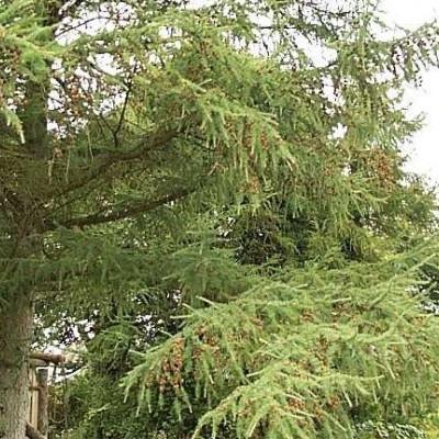 Larix kaempferi ( Japansk Lærk) - Salgsh.: 20-40 cm.  (Barrodet bdt. m/25 stk)