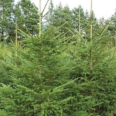 Picea abies - Salgshøjde: 20-40 cm.  (Barrodet bundt m/25 stk). - Rødgran