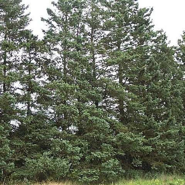 Picea glauca (Hvidgran) Salgshøjde: 30-50 cm.  (Barrodet bdt. m/25 stk)