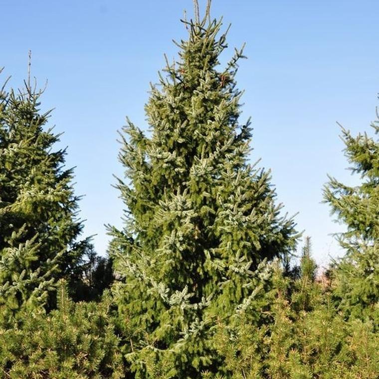 Picea omorica (Søjlegran) Salgshøjde: 15-30 cm.  (Barrodet bdt. m/25 stk)