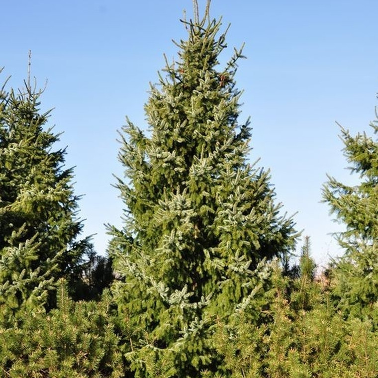 Picea omorica (Søjlegran) Salgshøjde: 20-40 cm.  (Barrodet bdt. m/25 stk)