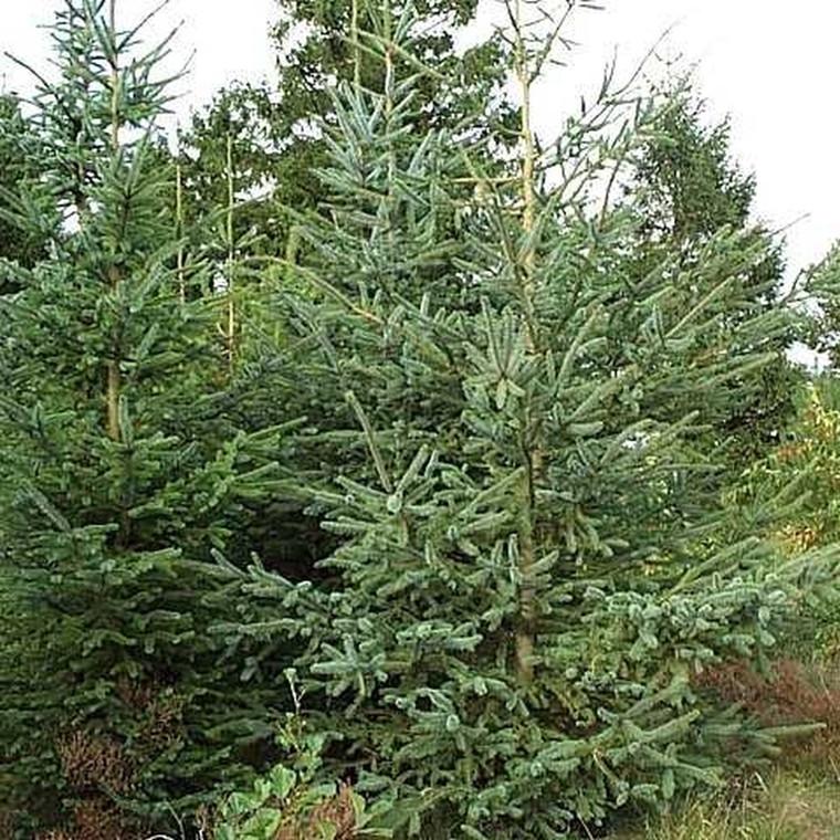 Picea sitchensis (Sitkagran) Salgshøjde: 30-50 cm.  (Barrodet bdt. m/25 stk)