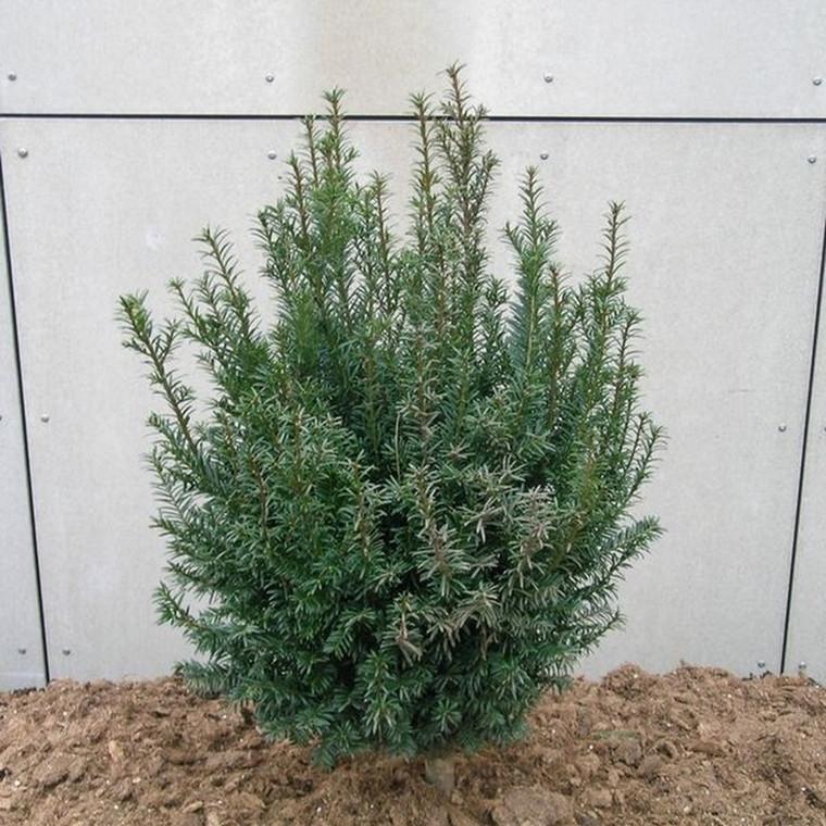 Taxus baccata -  Taks - Salgsh.: 15-20 cm.  (Barrodet bdt. m/25 stk)