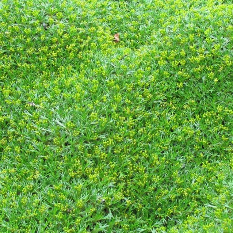AZORELLA trifurcata - (Gummipude)