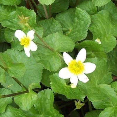 CALTHA palustris 'Alba' (Engkabbeleje)
